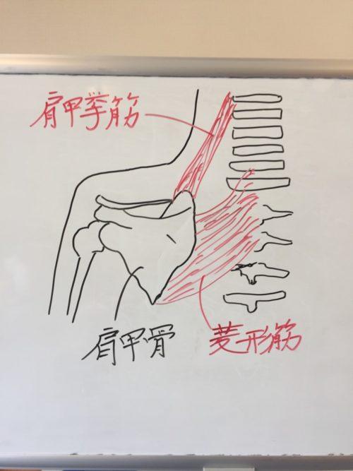 肩甲骨と筋肉の図